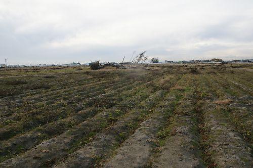 111209-12綿花畑の今年最後の作業